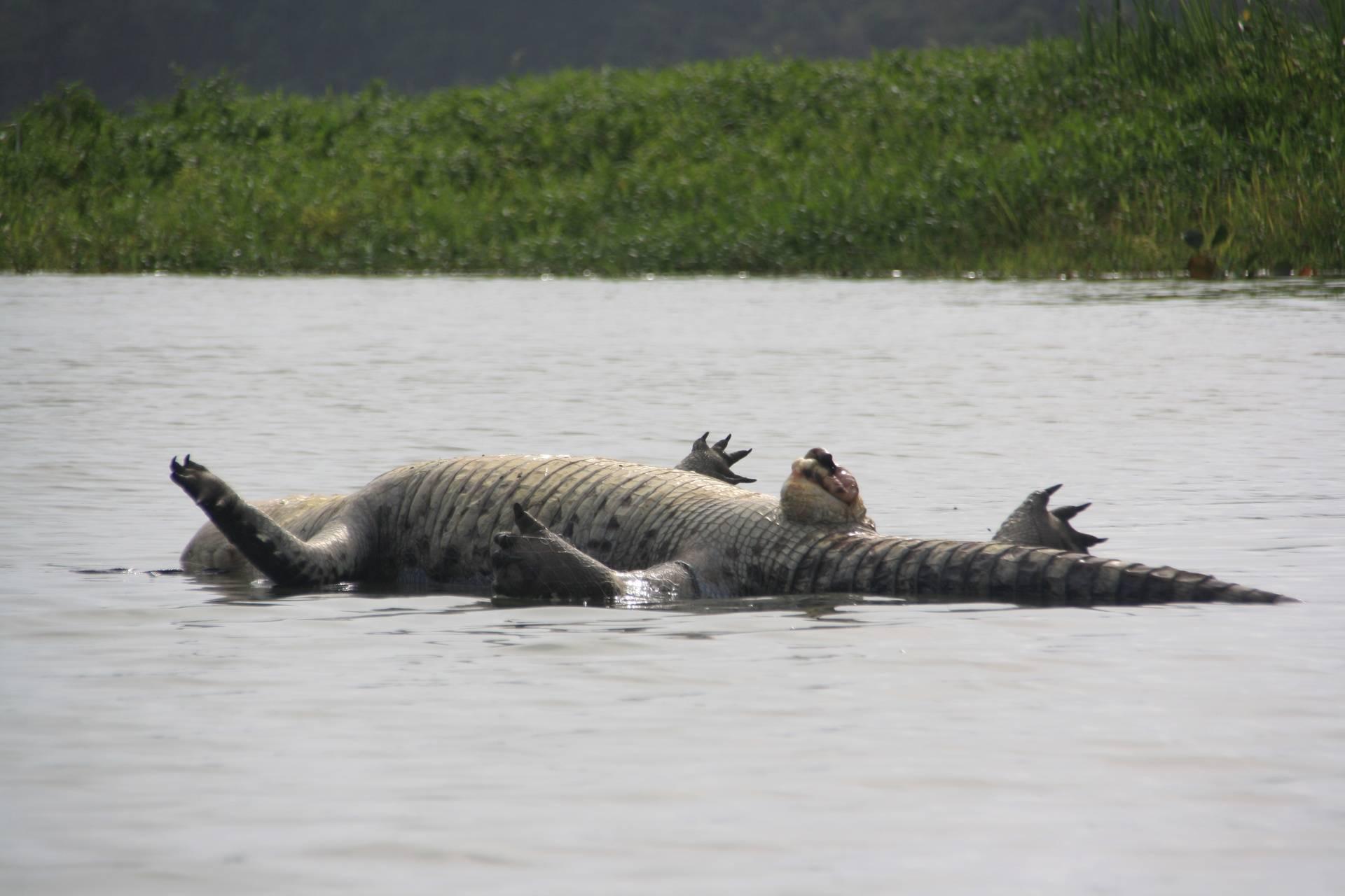 Dead Crocodile near Monkey Island