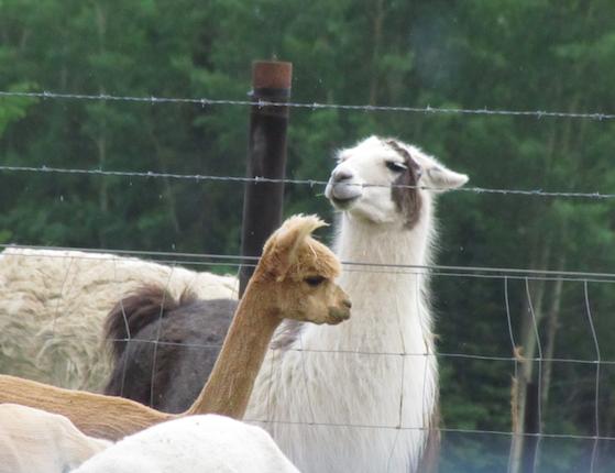 Llama and Not-a-Llama