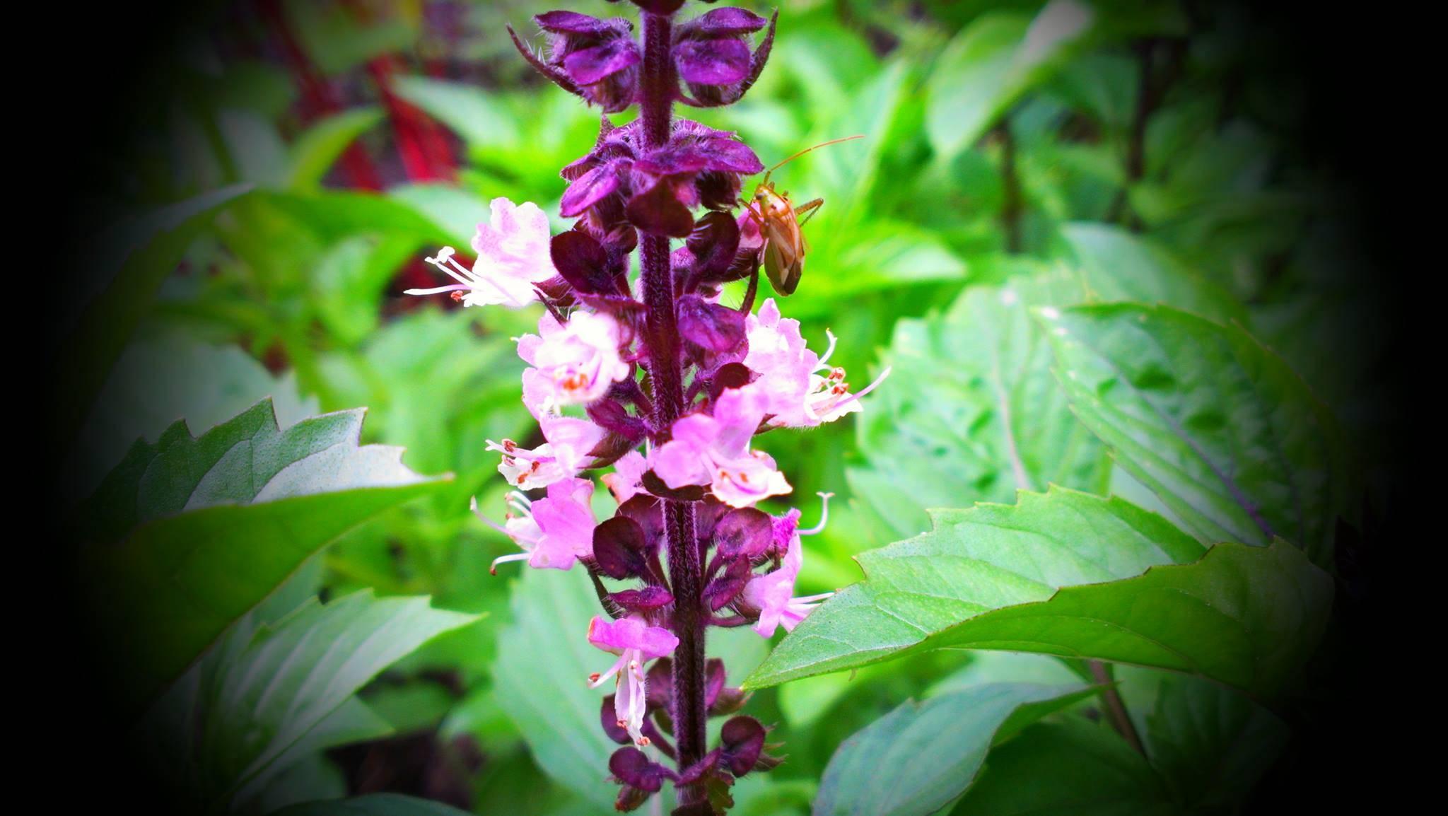 Cinnamon Basil Blossom