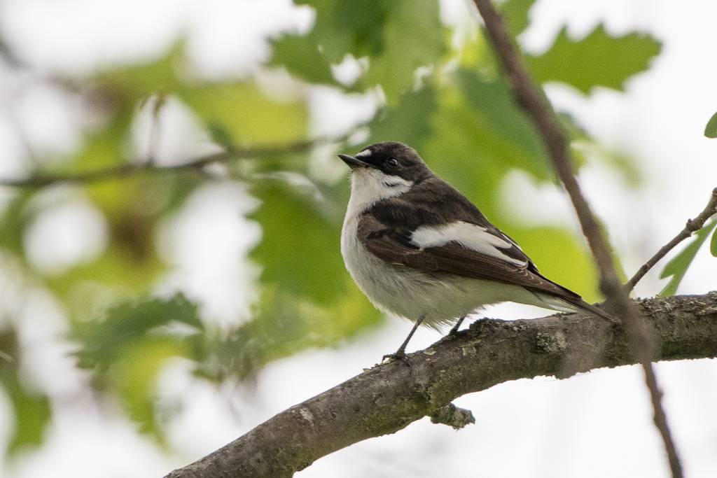 Pied Flycatcher  (Gobemouche noir)