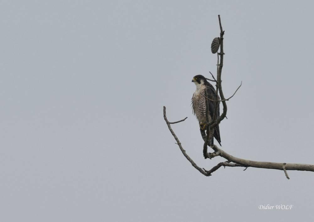 Faucon pélerin (Falco peregrinus)