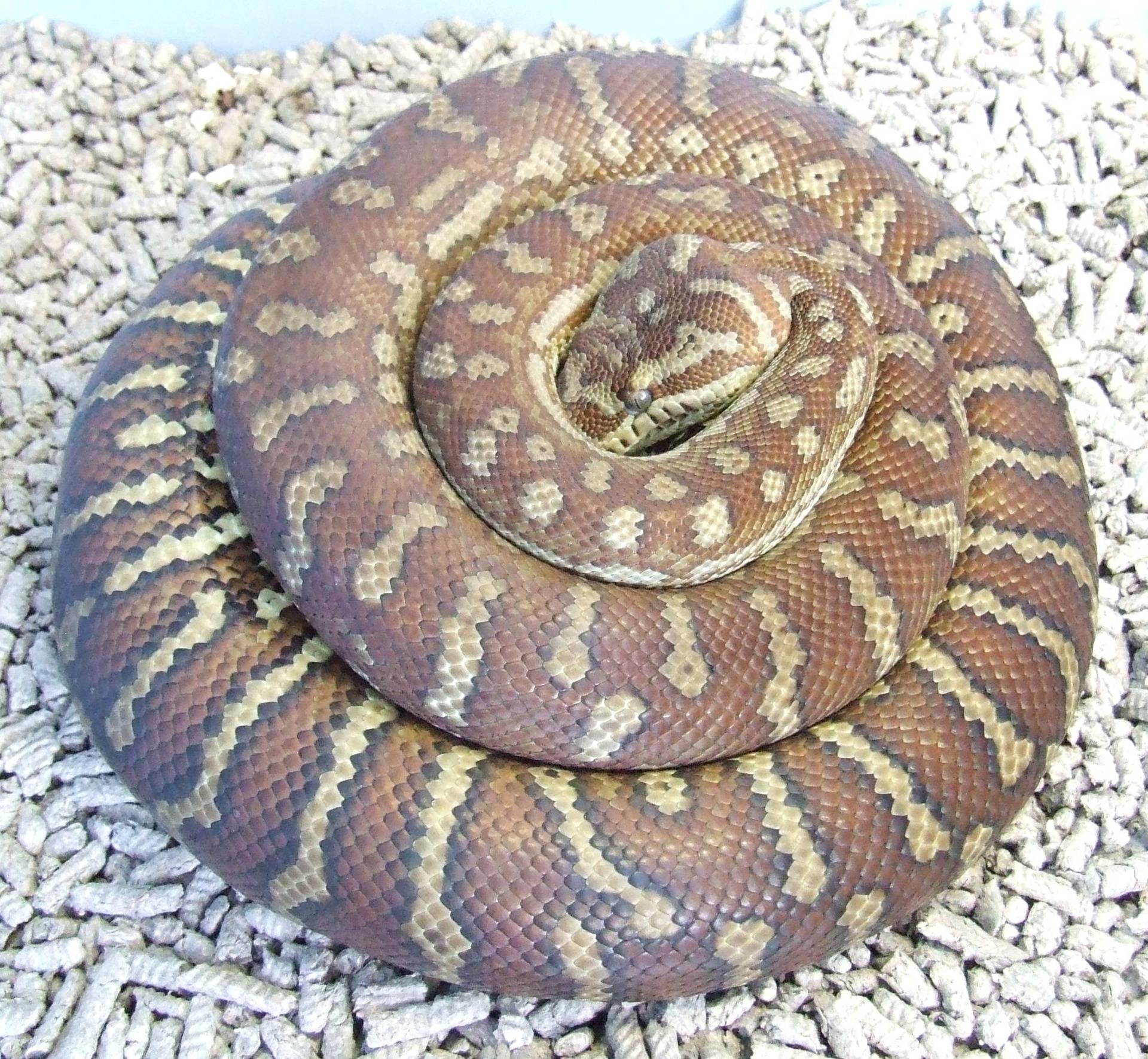 Centralian carpet Female breeder #1