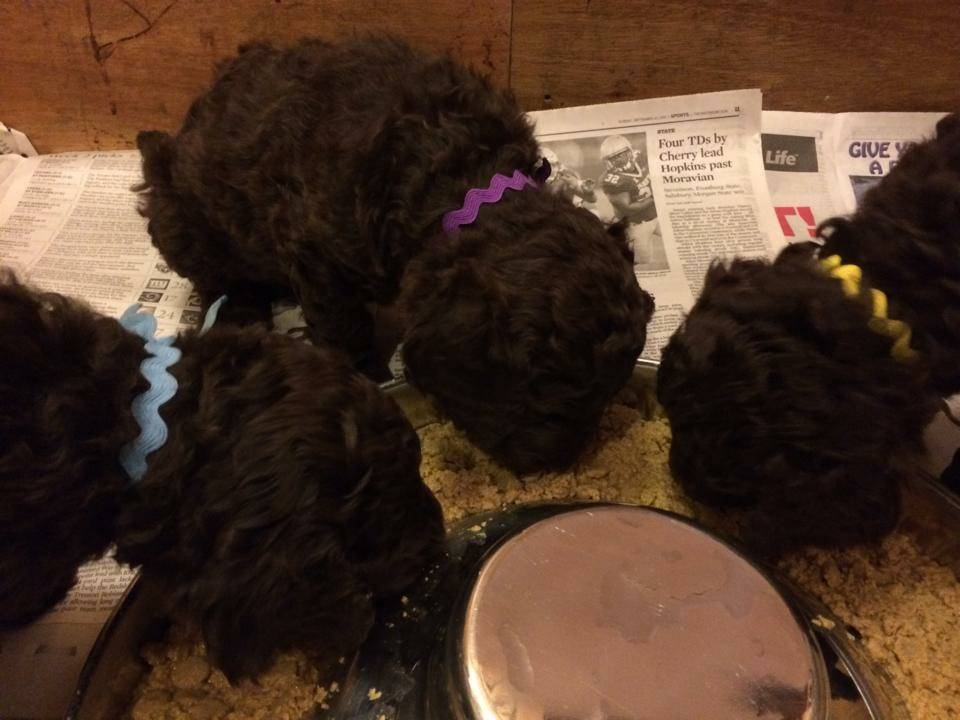 Blue, Purple, and Yellow chowing down on their first puppy food mush meal.  30 days old.