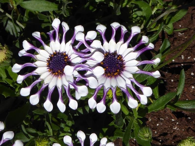 "Osteospermum ""Whirligig"""