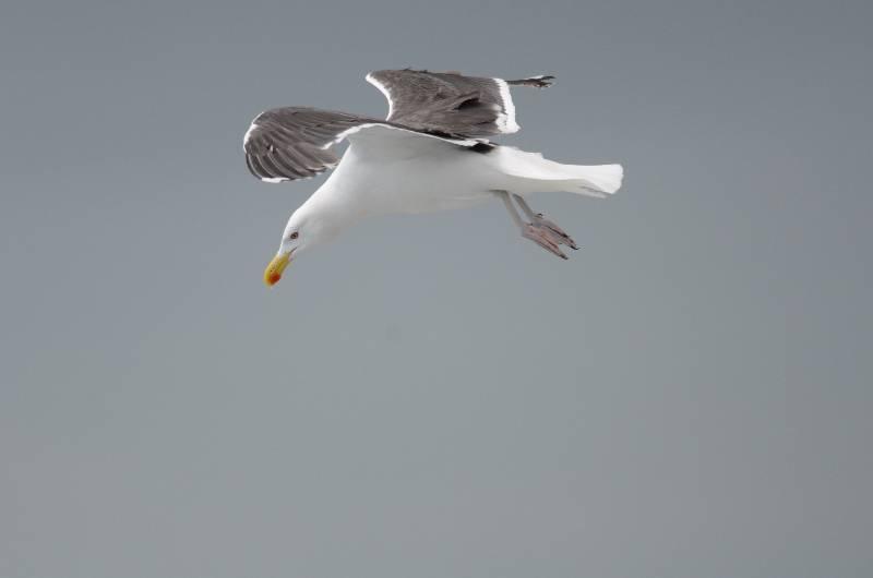Great Black-backed Gull   GOELAND MARIN