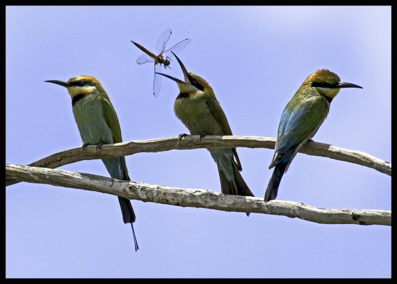 Rainbow Bee eaters