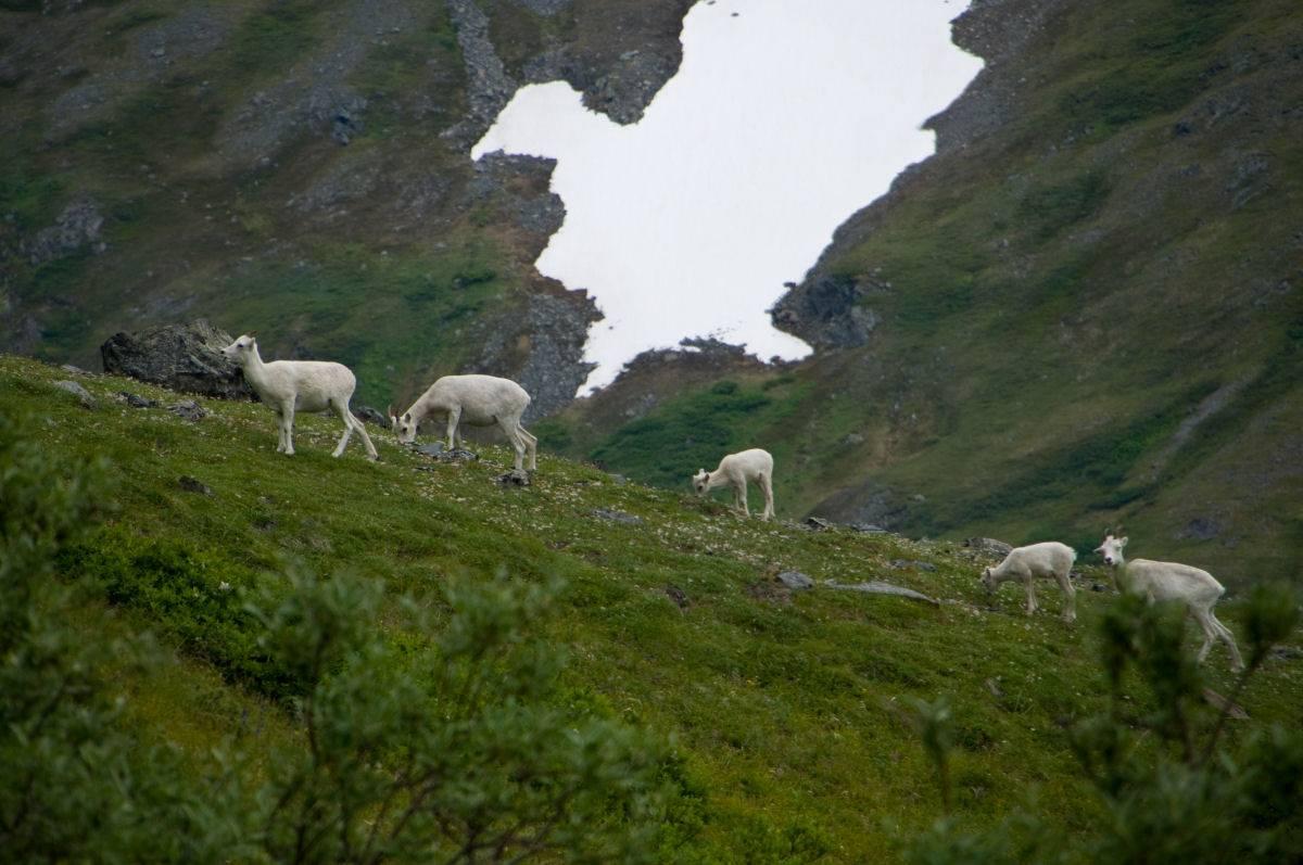 Ewes on the Kenai.
