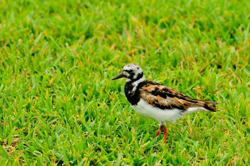 plumage nuptial
