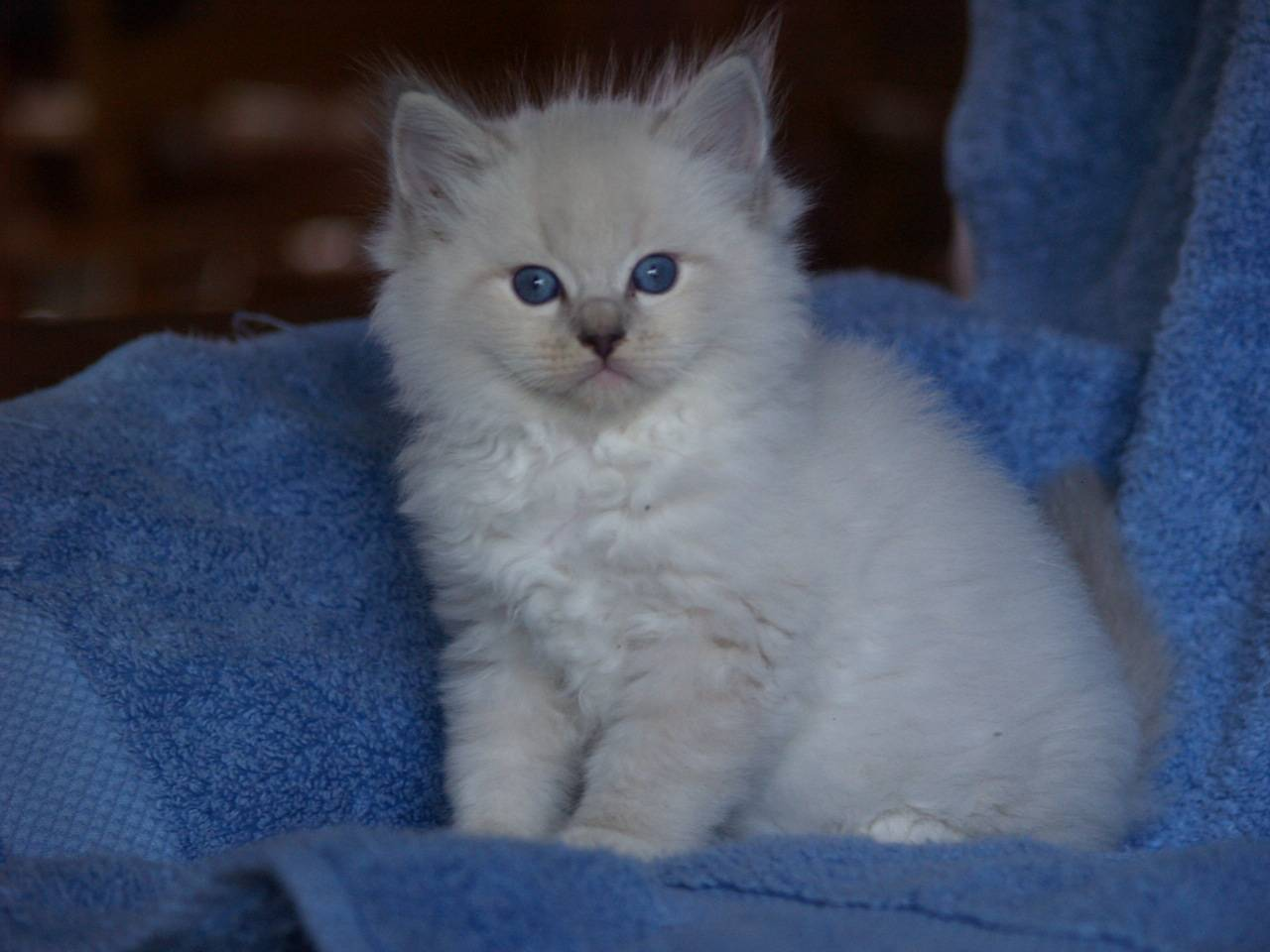 Blue Mitted Lynx Baby