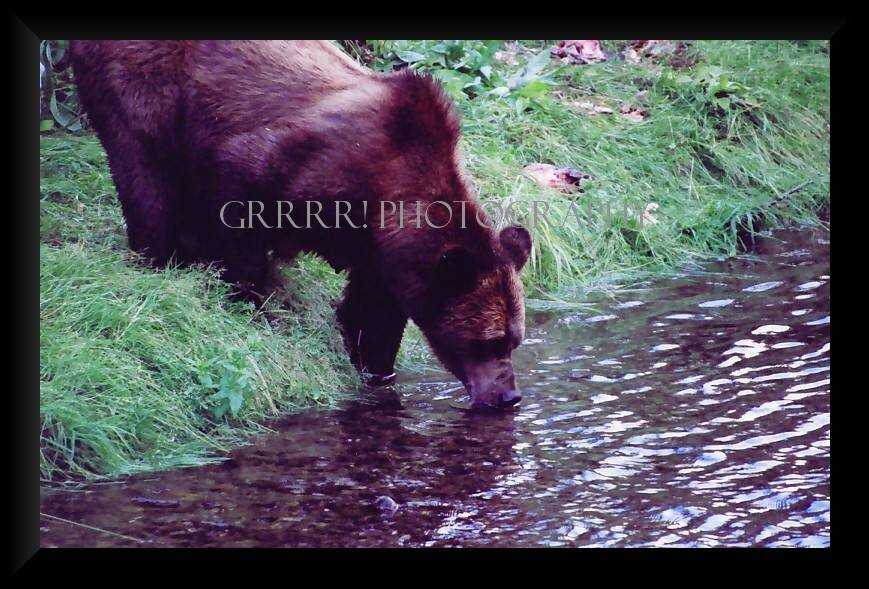 Grizzly Sow Drinking