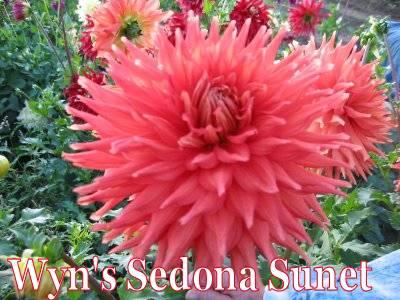 Wyn's Sedona Sunet-A SC Orange   N/A
