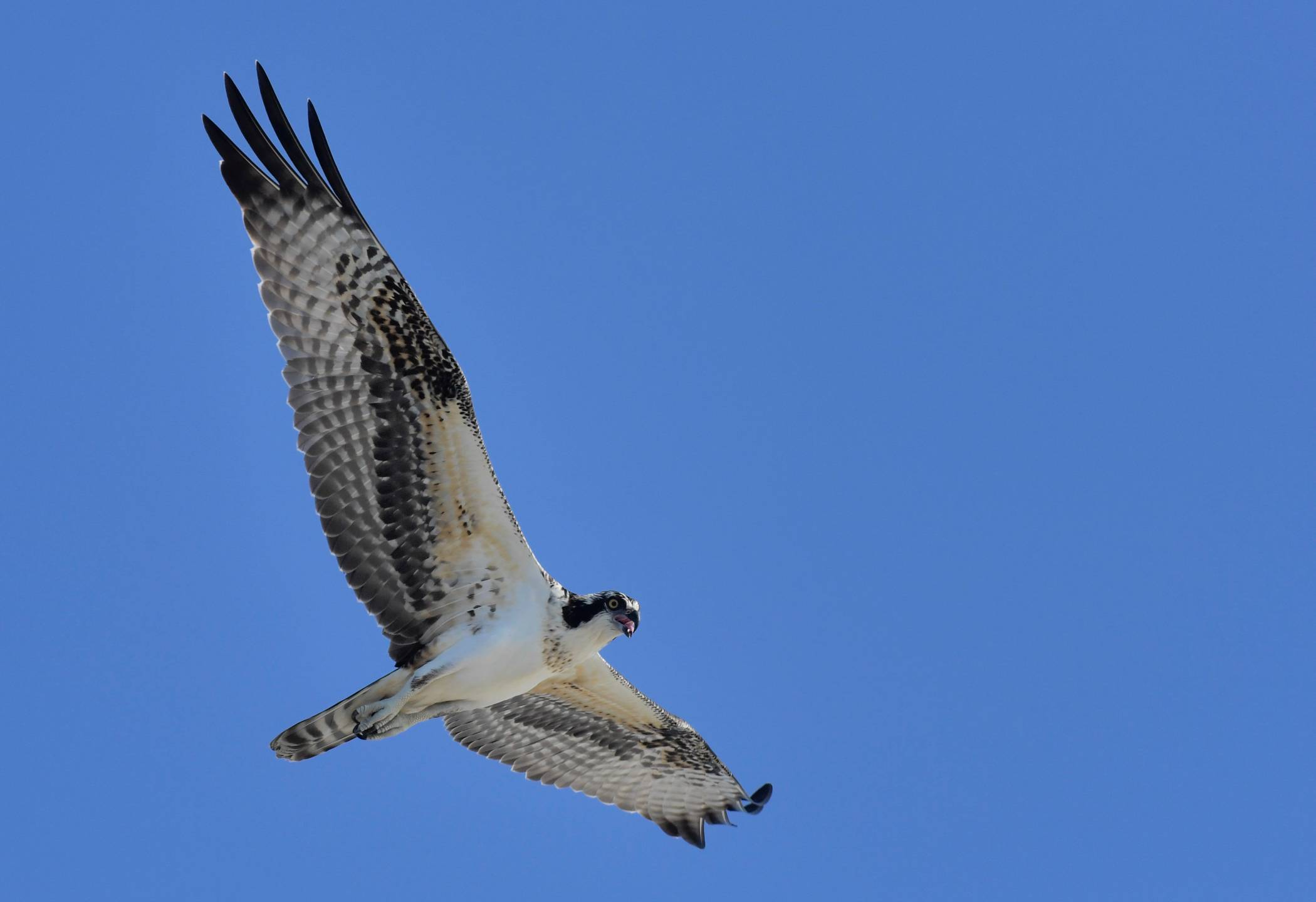 Balbuzard pêcheur - Osprey  Août '16 - August 16