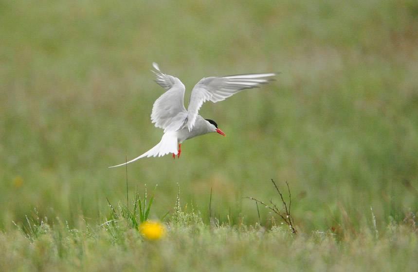 Sterne arctique - Arctic tern