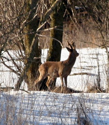 Roe buck ( Denmark)