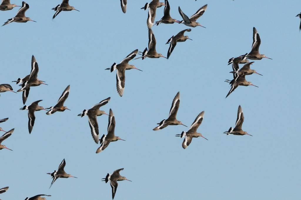 Migration mi-octobre. Migrating godwits.