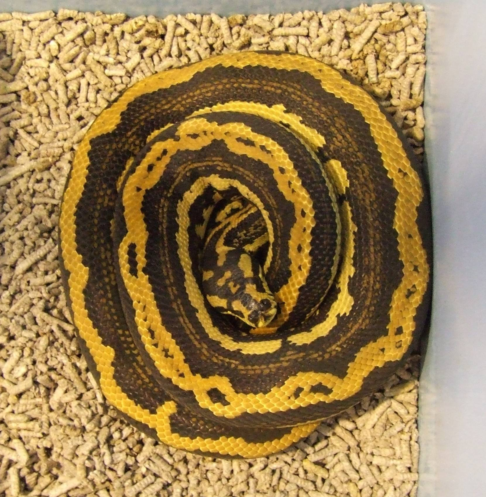 Jungle Carpet - Palmerston Striped male