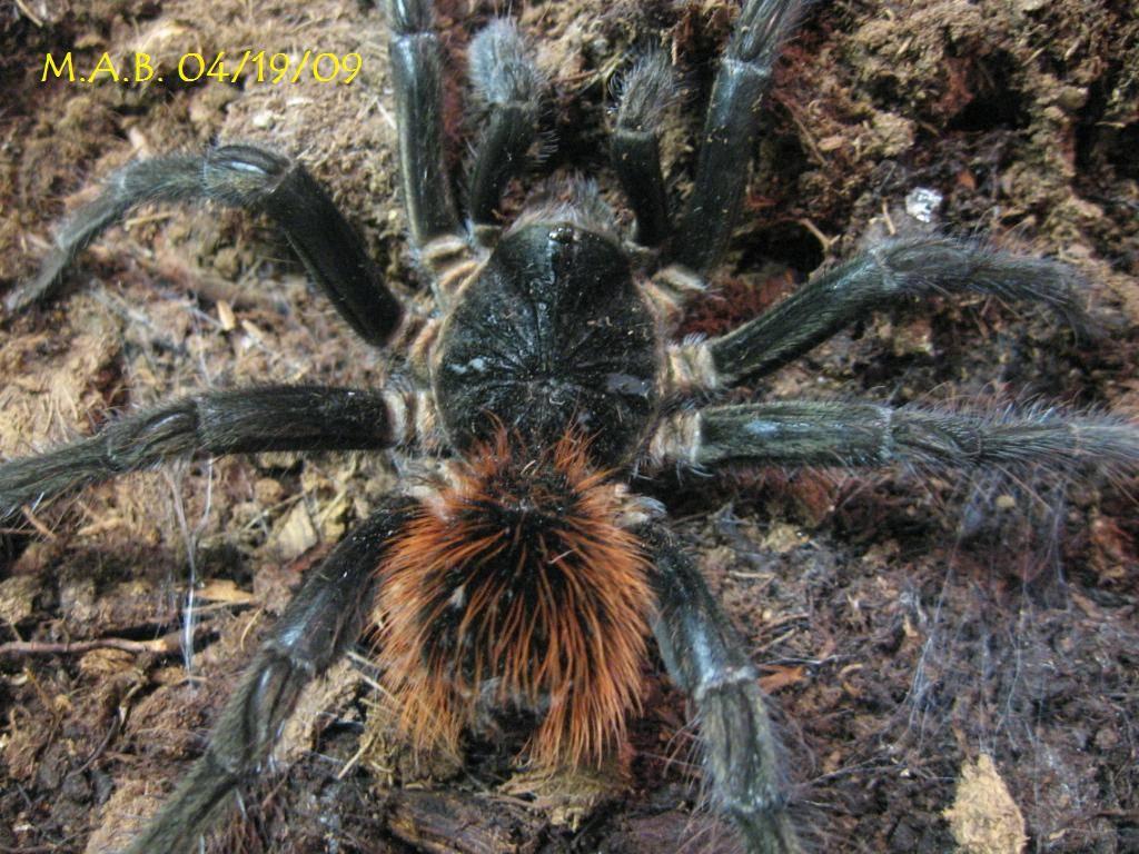 Matrue male M.velvetosoma