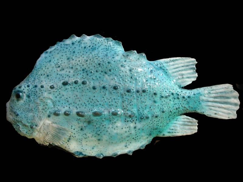 "Lumpsucker ""Cyclopterus lumpus"""
