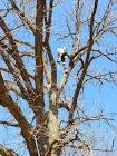 Dormant Season Oak Trims