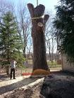 Large Cottonwood Stump Cut