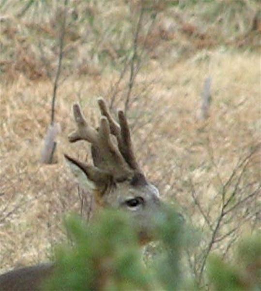 Roe buck in velvet