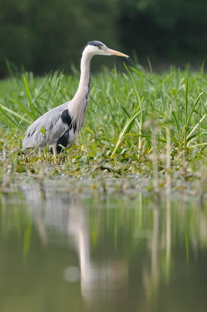 Héron cendré - Great blue heron