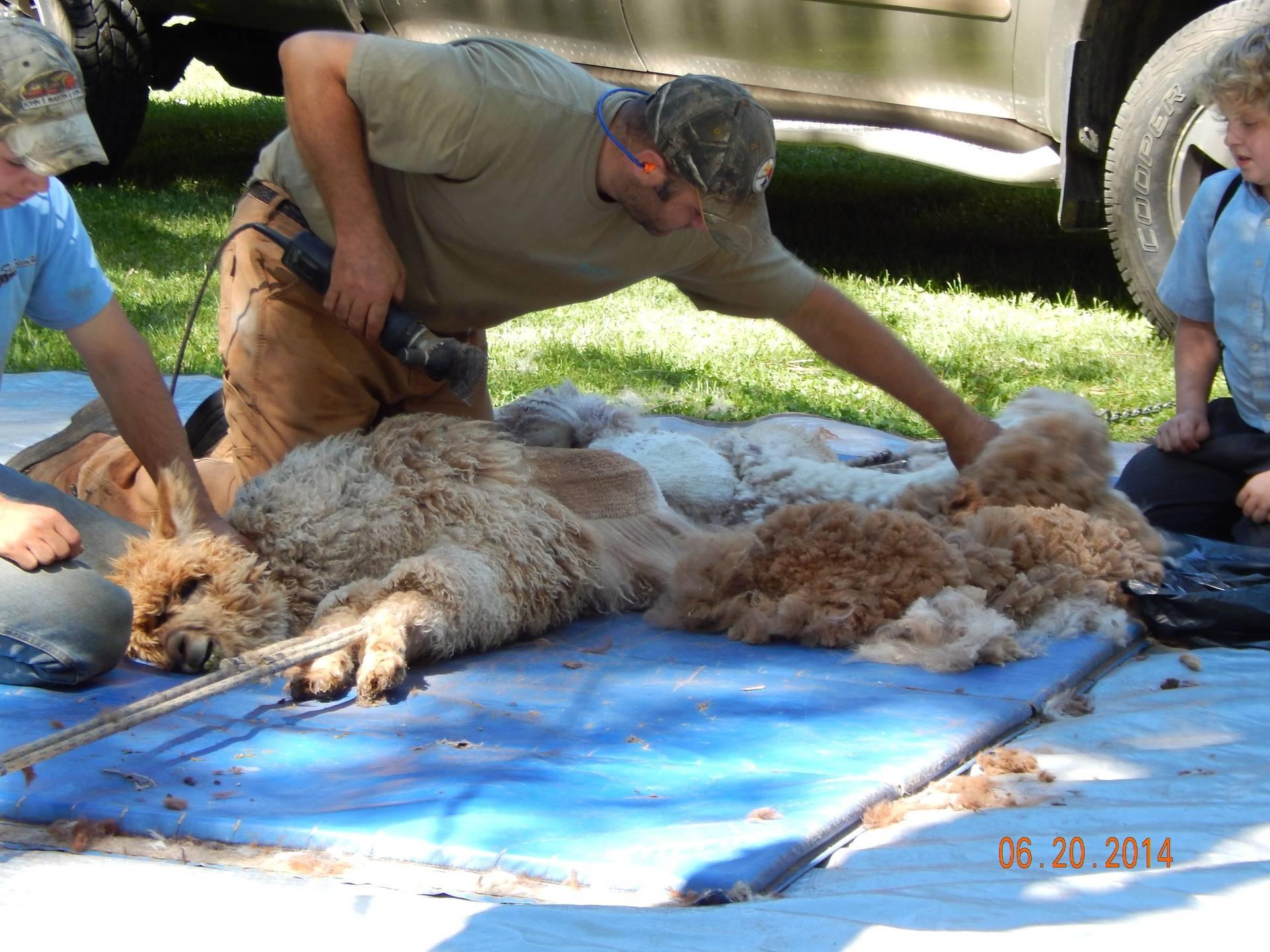 Alpaca Shearing Thyme