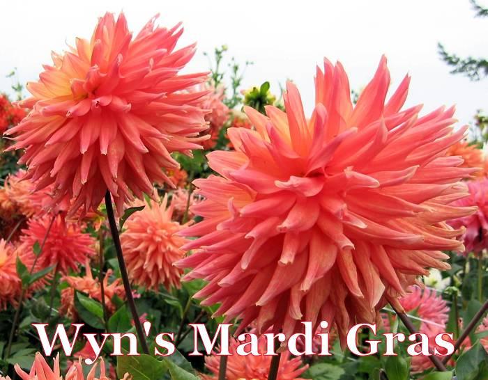 Wyn's Mardi Gras-B SC Dark Blend Orange/Yellow