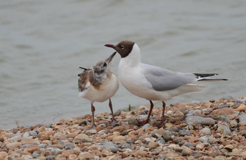 Black-headed Gull   MOUETTE RIEUSE