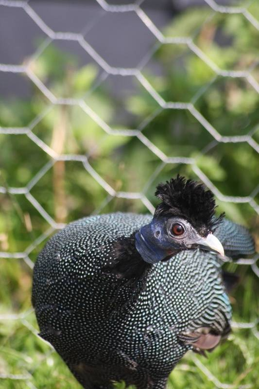 Creasted Guinea fowl