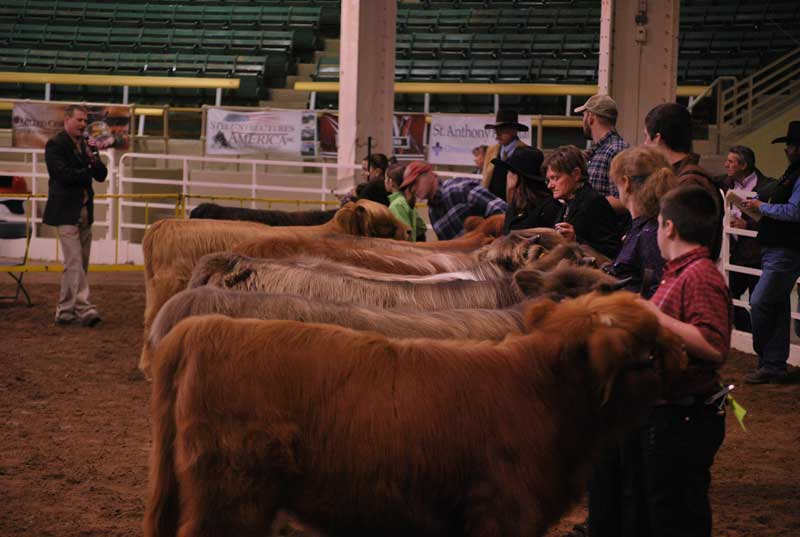 Jr. Heifer Class line-up