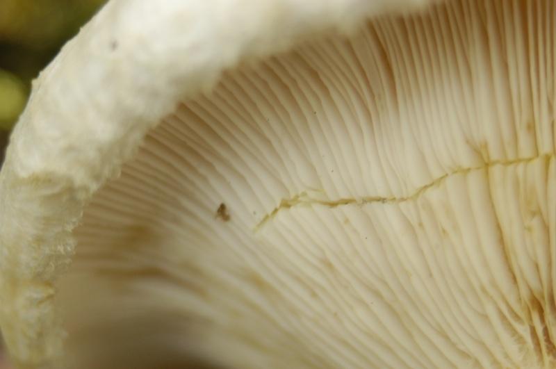 Lactarius resimus up close