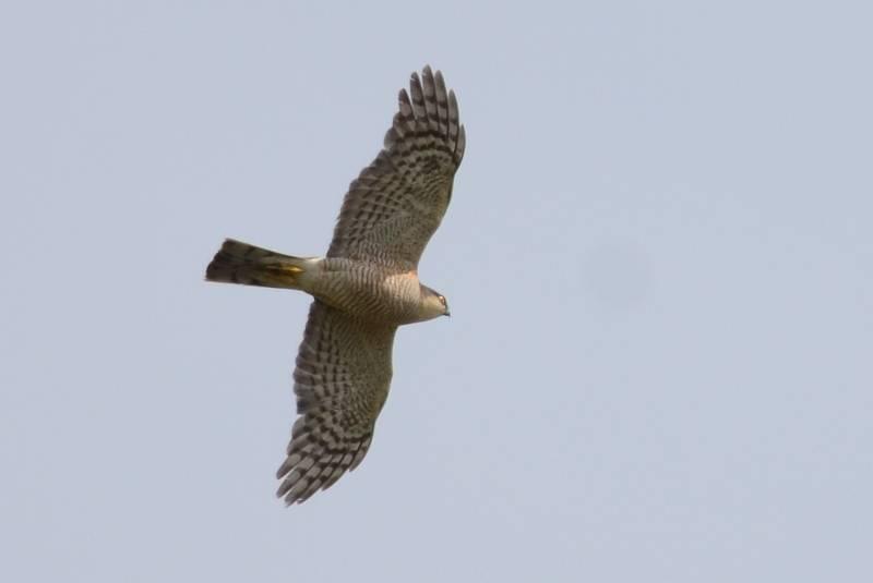 Sparrowhawk    EPERVIER D'EUROPE