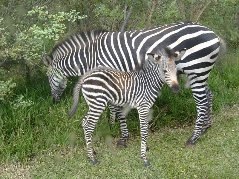 Zebra mother & baby