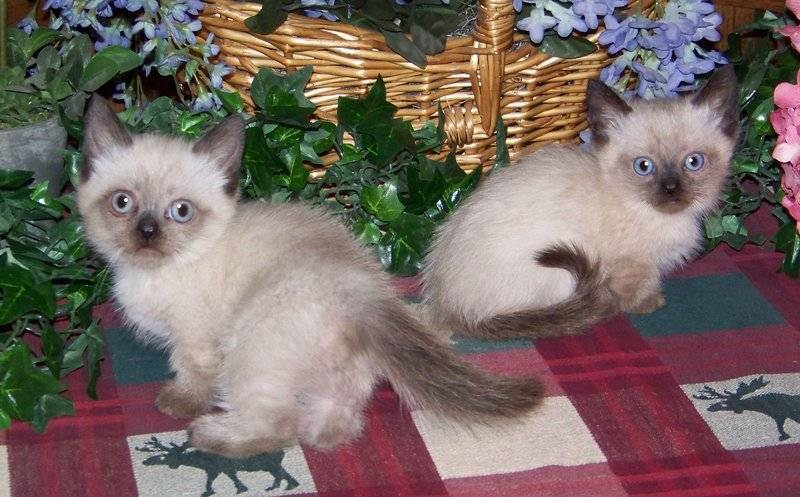 Mom Diva's little Napoleon Ragdoll/Persian seal pt. longhair boys