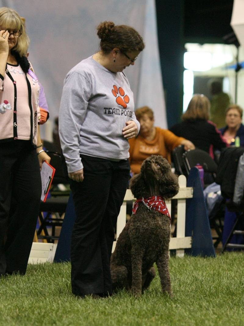 Penny in Team Poodle at PCA National Specialty.  4/27/10.