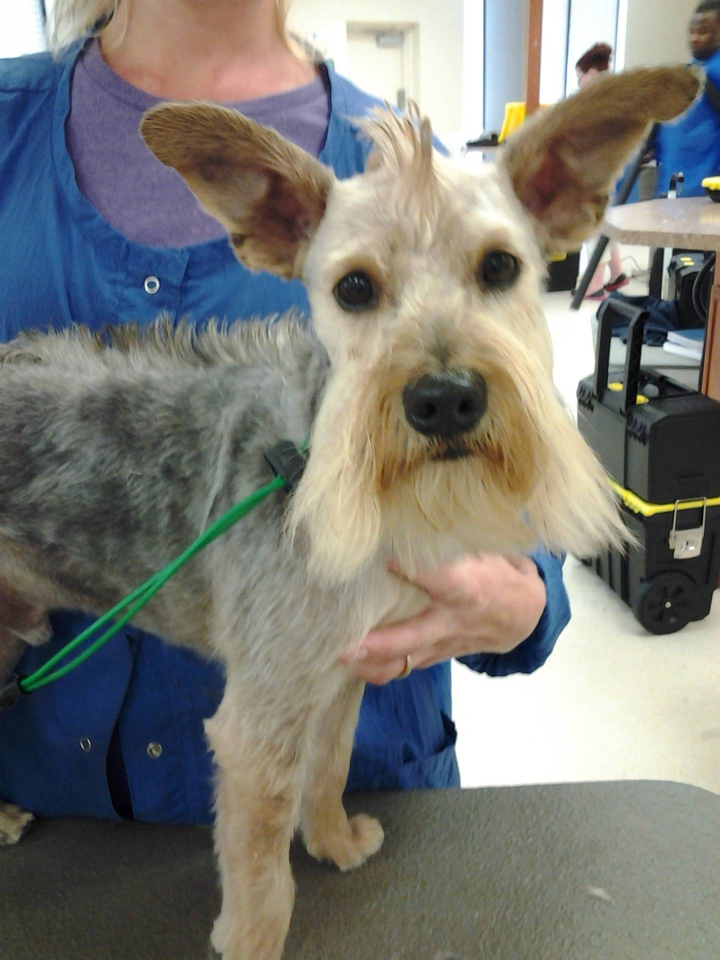 mixed breed- in a Schnauzer pattern, with a full body mohawk