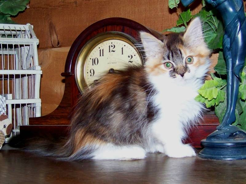 Mom Diva's beautiful SOLD Calico Ragdoll Munchkin longhair girl