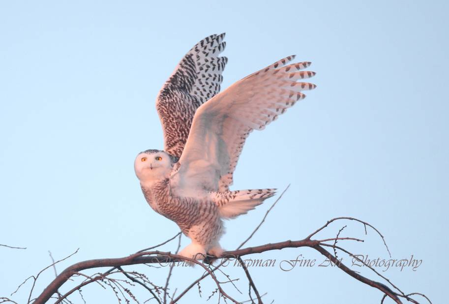 Snowy Owl Take Off at Sunset