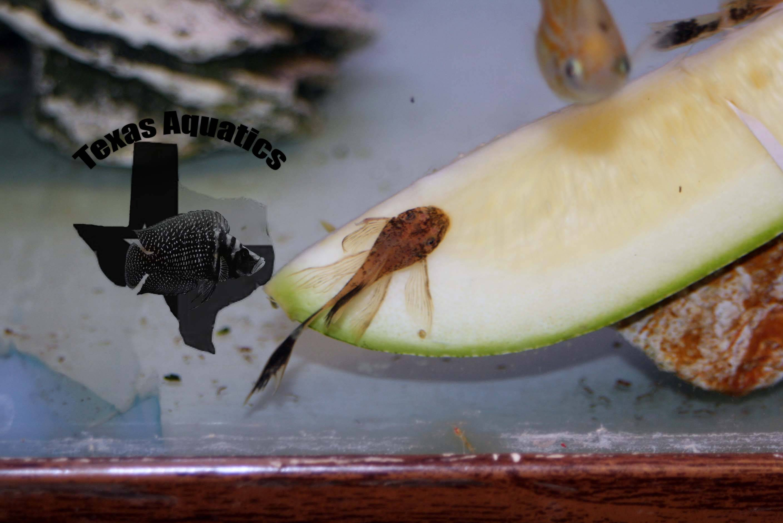 Calico Longfin Bristlenose