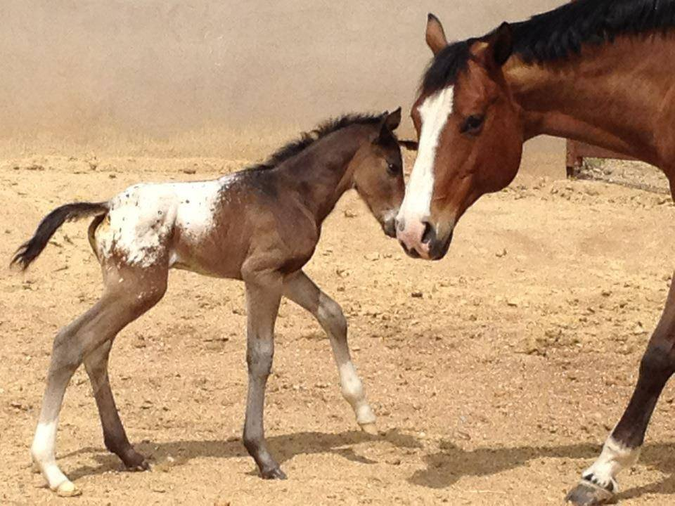 Kelly and Dave Potter's colt-14 hrs later