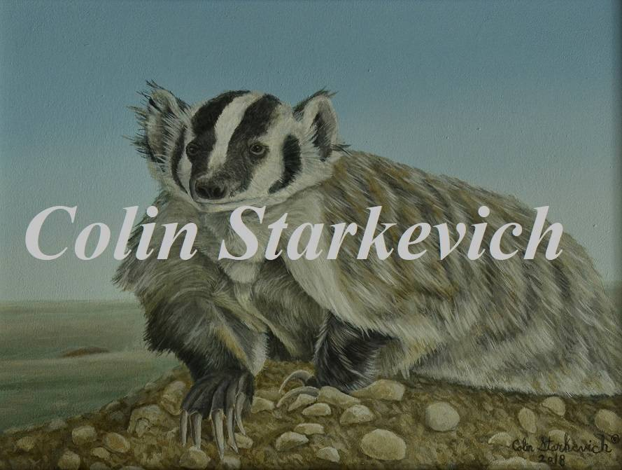 """Open Plains - American Badger (9 by 12"""" acrylic on board) In Private Collection"""
