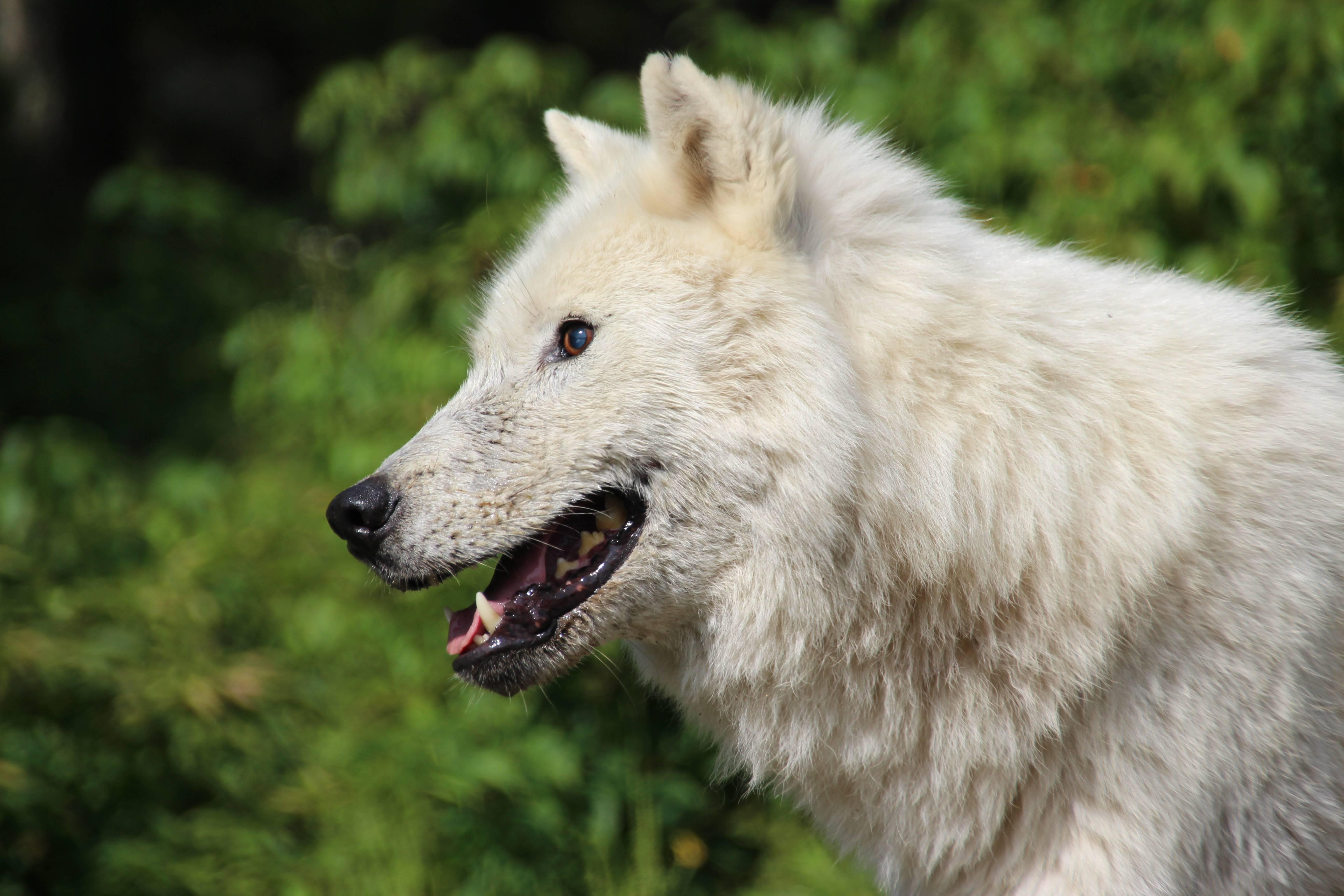 Actic wolf at Parc Omega, Montebello