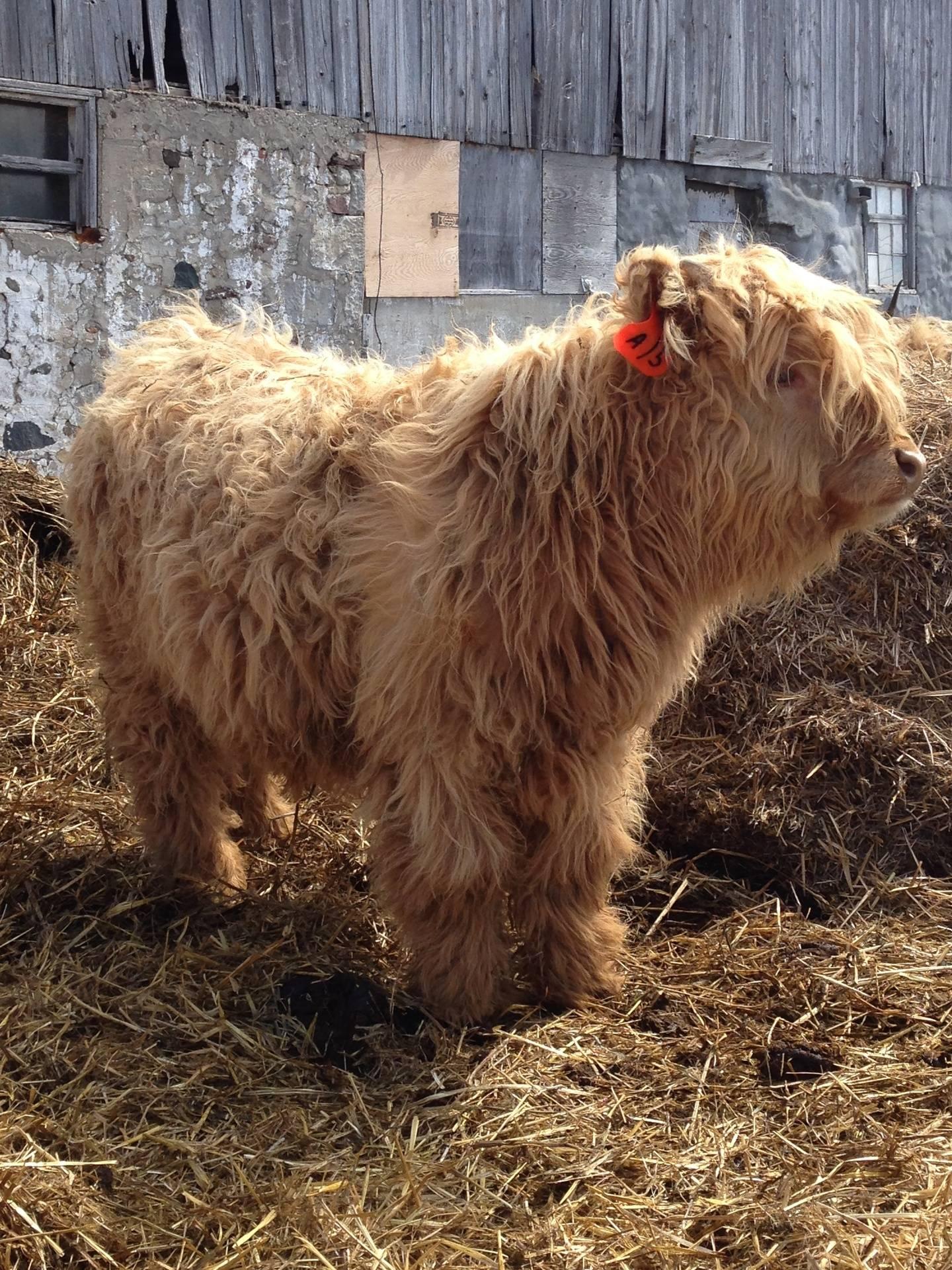 Wisteria's 2013 bull calf