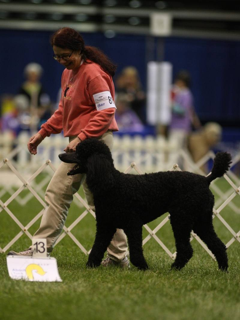 Maxwell heeling in Rally Excellent at PCA National Specialty. 4/27/10.