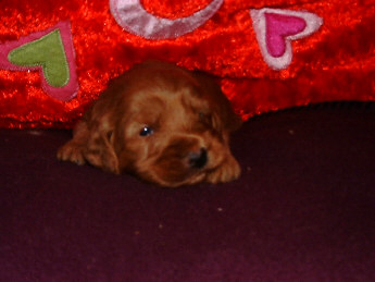 Red male puppy!