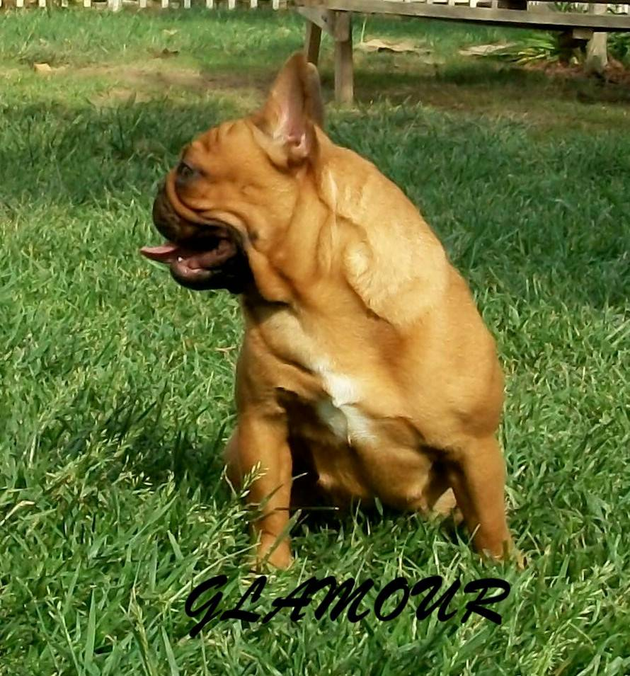 ADF CH Curly's Cirque Butterball Glamour - NOT BREEDING