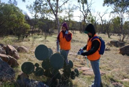 Volunteers injecting Wheel Cactus