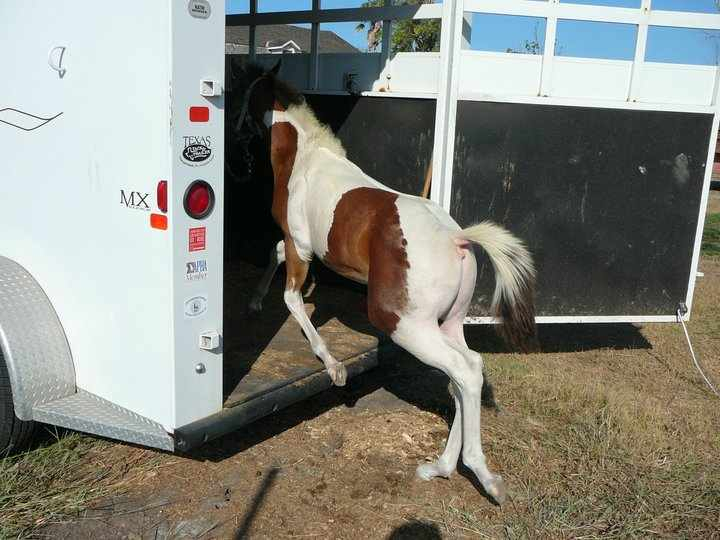 Weanling - APHA tobiano colt by Sparks Black Jack