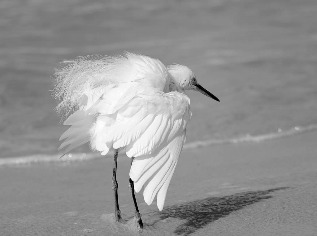 Aigrette - Egret